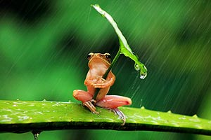 funny frog under a leaf in the rain