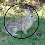 rabbit in rifle sight