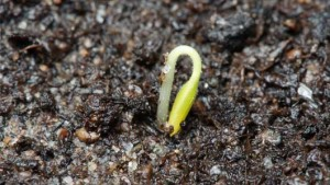 sprout seed